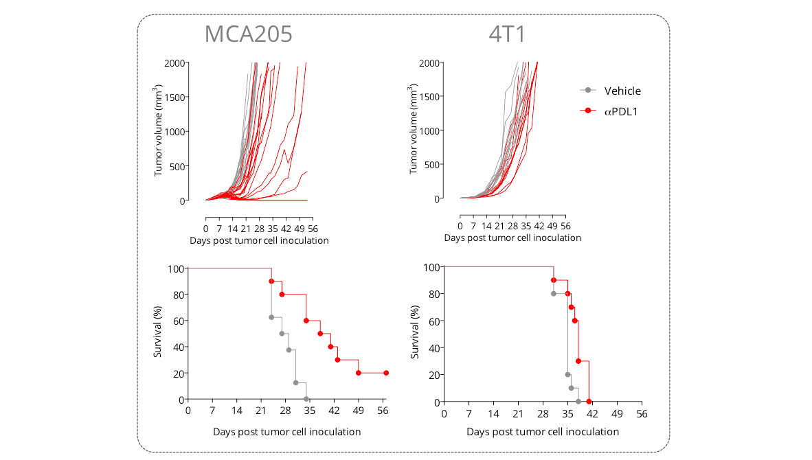 New shuttle session with our in vivo syngeneic tumor models – for cost-saving efficacy studies